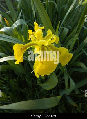Closeup of wild yellow flag iris (Iris pseudacorus) flower, Scotland, UK - Stock Photo