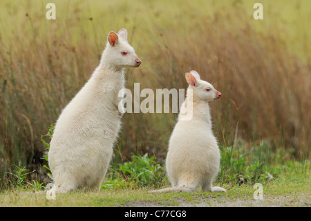 Bennett's Wallaby Macropus rufogriseus Mother and joey White, albino form Photographed on Bruny Island, Tasmania, - Stock Photo