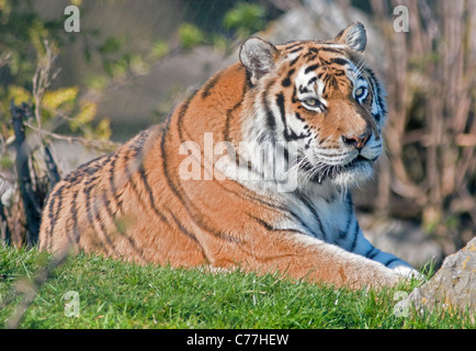 Amur Tiger/Siberian Tiger (panthera tigris altaica) - Stock Photo