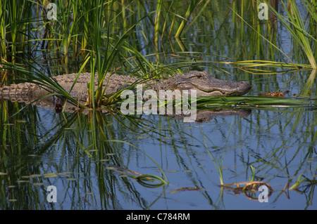 big gator in the swamp - Stock Photo