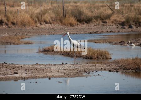 European white stork, Ciconia ciconia - Stock Photo