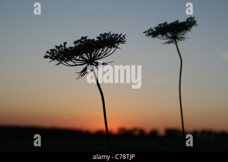 Wild carrot Daucus carota flowers silhouetted against sunset, Buckinghamshire - Stock Photo