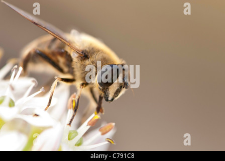 European hoverfly, also known as the drone fly or Eristalis tenax, on a white flower. - Stock Photo
