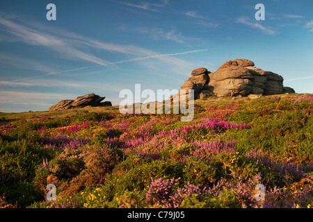 Saddle Tor on Dartmoor in late summer with gorse and heather in bloom - Stock Photo