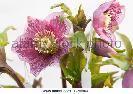Winning Helleborus Cv Hillier Garden Hybrid Anemone Centred Pink Spotted  With Excellent  Helleborus Cv Hillier Garden Hybrid Pink Spotted  Stock Photo With Endearing Garden Rotavators For Hire Also Pleasant Garden Nc In Addition Green Plastic Garden Fence Mesh And How To Plant Okra Seeds In A Garden As Well As Houses To Rent In Welwyn Garden City Additionally The Secret Garden Maldon From Alamycom With   Excellent Helleborus Cv Hillier Garden Hybrid Anemone Centred Pink Spotted  With Endearing  Helleborus Cv Hillier Garden Hybrid Pink Spotted  Stock Photo And Winning Garden Rotavators For Hire Also Pleasant Garden Nc In Addition Green Plastic Garden Fence Mesh From Alamycom