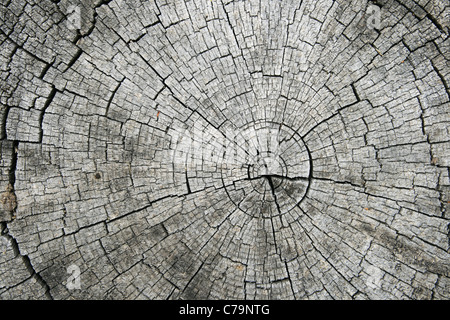 growth rings and radial splits on the end of a sawn log - Stock Photo