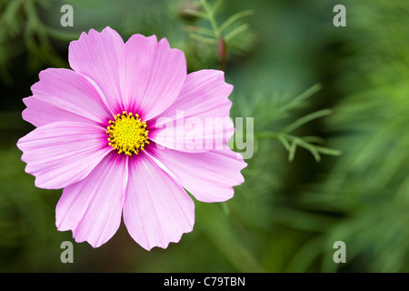 Cosmos bipinnatus flower. - Stock Photo