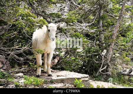 Mountain goat kid, Glacier National Park, Montana, USA - Stock Photo