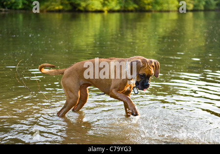 Boxer Mixed Breed Dog Playing in Pond in Floyd County, Indiana - Stock Photo