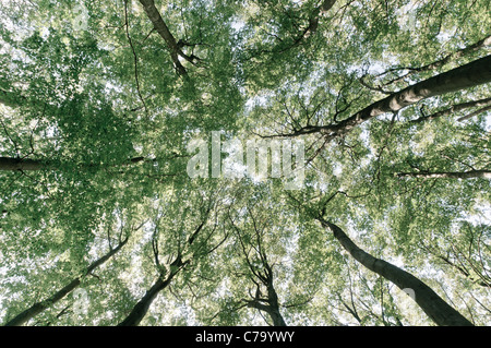 Treetops, beech forest in the Jasmund National Park, Rugia, Ruegen, Mecklenburg-Western Pomerania, Germany, Europe - Stock Photo