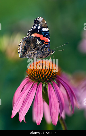 Red Admiral Butterfly on Purple Coneflower in Floyd County, Indiana - Stock Photo