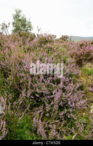 Common Heather (calluna vulgaris) in central Scotland - Stock Photo