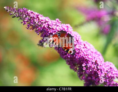 Peacock (Inachis io) or (Nymphalis io) Butterfly on a purple Buddleia bush (Buddleia davidii) - Stock Photo