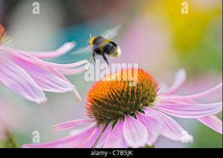 Echinacea purpurea Eastern purple cone flowers or Purple coneflower with a bumble bee collecting pollen - Stock Photo