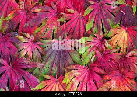 Acer Japonicum Attaryi leaves. Japanese Maple leaves changing colour in autumn. Red Acer leaf pattern - Stock Photo