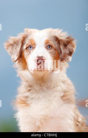 Australian Shepherd, puppy, red-merle, 19 weeks