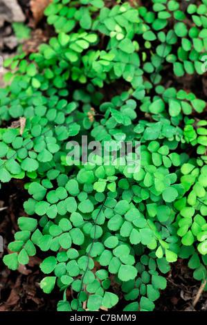 Evergreen Himalayan maidenhair fern Adiantum venustum green fronds - Stock Photo
