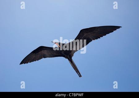 Frigatebird (Fregata) in flight - Stock Photo