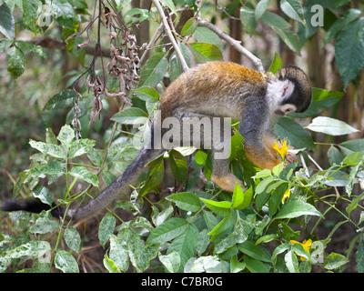 South American Squirrel Monkey (Saimiri sciureus) picking a flower to drink the nectar - Stock Photo