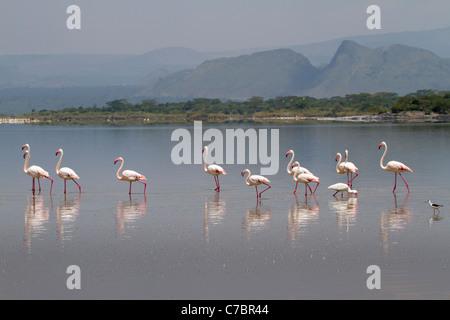 Lesser flamingo (Phoenicopterus minor) in the shallow water of lake Elementaita, Kenya. - Stock Photo