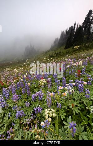 Field of wildflowers in fog, Edith Creek Basin, Paradise, Mount Rainier National Park, Washington, USA - Stock Photo