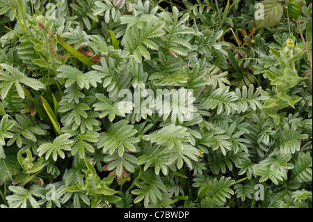Leaves of silverweed plants (Potentilla anserina) at Chesil Beach on the Dorset coast - Stock Photo