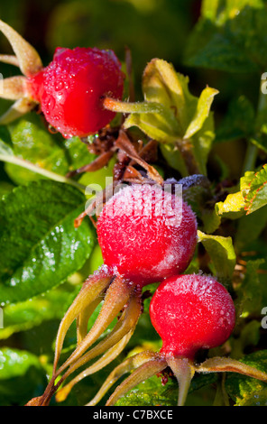 Frosty rose berries - Stock Photo