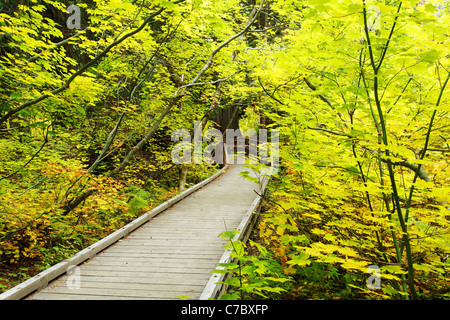 Boardwalk trail through fall colored vine maple, Grove of the Patriarchs Trail, Mount Rainier National Park, Washington, - Stock Photo