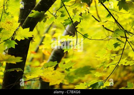 Fall colored vine maple, Grove of the Patriarchs Trail, Mount Rainier National Park, Washington, USA - Stock Photo