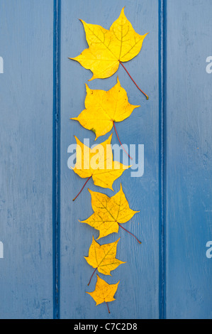Acer Capp aureum leaves. Japanese Maple leaves pattern on blue wood - Stock Photo