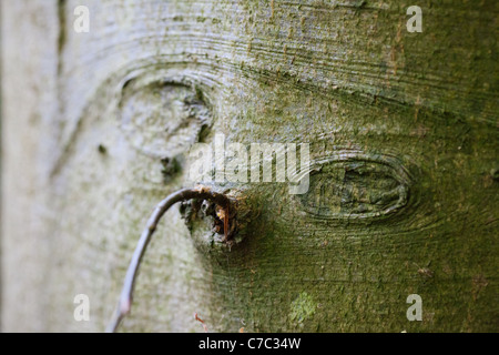 A strange face in the bark of a tree - Stock Photo