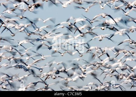 Flock of snow geese (Chen caerulescens) filling the sky, Skagit Valley, Washington, USA - Stock Photo