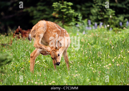 Blacktail deer fawn scratching head with hind leg, Paradise, Mount Rainier National Park, Washington, USA - Stock Photo