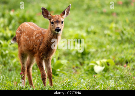 Blacktail deer fawn, Paradise, Mount Rainier National Park, Washington, USA - Stock Photo
