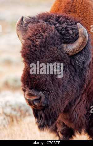 Head of male bison in autumn, Yellowstone National Park, Wyoming, USA - Stock Photo