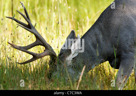 Head of male mule-deer eating in meadow, Yellowstone National Park, Wyoming, USA - Stock Photo