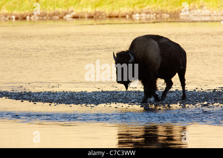Male bison fording the Hayden River in autumn, Yellowstone National Park, Wyoming, USA - Stock Photo