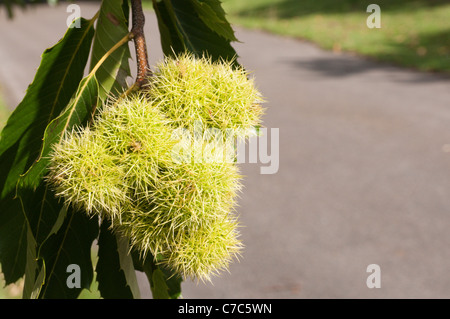 A Sweet Chestnut (Castanea sativa) tree with the spiky casings or cupules containing the chestnuts. - Stock Photo