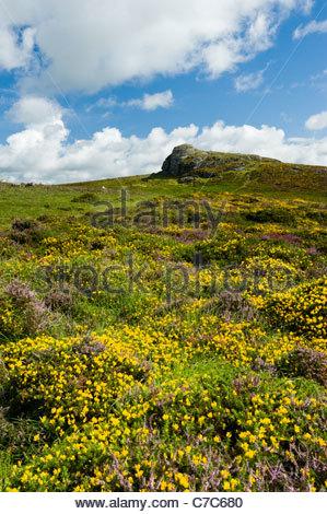 Heather and gorse below Haytor Rocks, Dartmoor National Park, Devon, England - Stock Photo