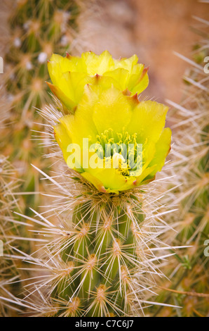 Buckhorn Cholla flower (Cylindropuntia acanthocarpa), Anza-Borrego Desert State Park, California USA - Stock Photo