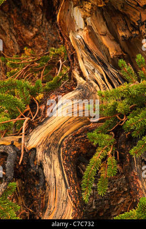 Twisted bark of the weathered ancient bristlecone pine tree - Stock Photo