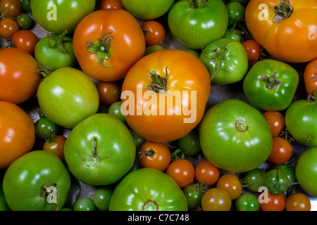 Various Stages of Ripening Tomatoes - Red Green - Stock Photo