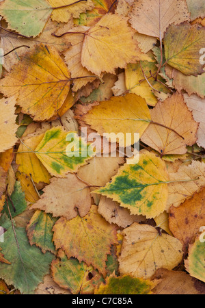 Betula pendular . Silver birch leaves in autumn - Stock Photo