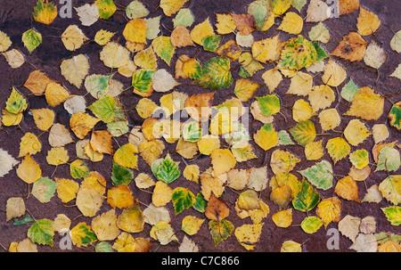 Betula pendular . Silver birch leaves on a wet path in autumn - Stock Photo