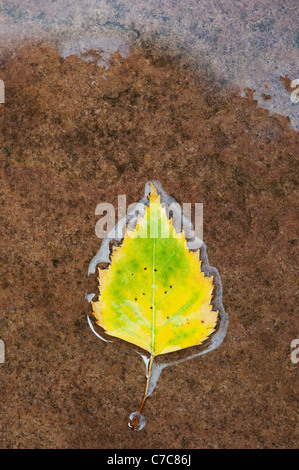 Betula pendular . Silver birch leaf on a wet path - Stock Photo