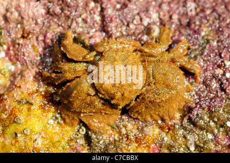 Broad-clawed porcelain crab (Porcellana platycheles) - Stock Photo