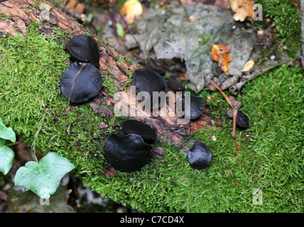 Black Bulgar, Gum Mushroom, Jelly Drops or Rubber Buttons, Bulgaria inquinans, Bulgariaceae - Stock Photo