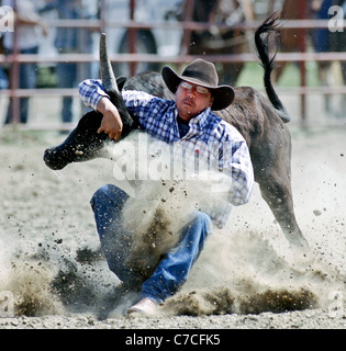 Competitor in the cow tie-down roping event of the rodeo held at the Crow Agency reservation in Montana during Crow - Stock Photo