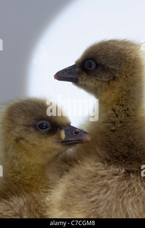 Pink-footed Goslings (Anser brachyrhynchus). Day old 'downies', or young. - Stock Photo
