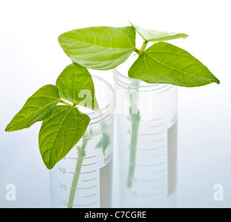Genetically modified plant seedlings in two test tubes - Stock Photo